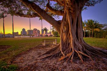 Banyan Tree at Royal Park Bridge Palm Beach Island Florida